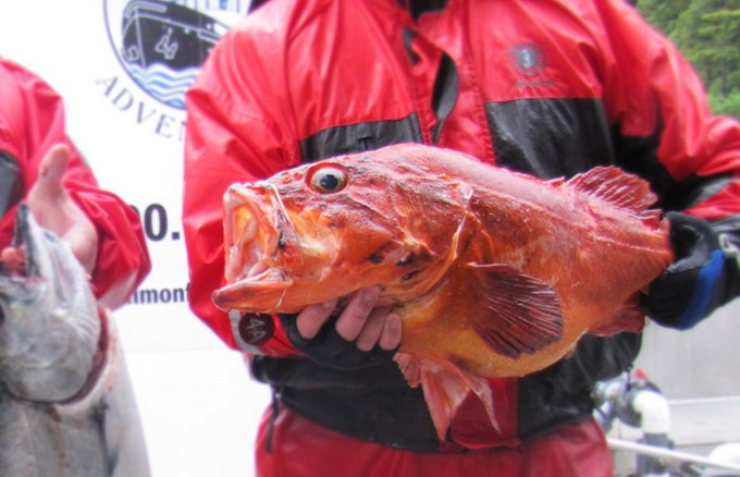 yellow-eye-rockfish-fishing-queen-charlotte-BC